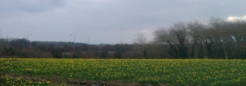 daffodil field March 2013 cropped