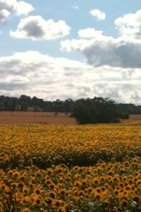 Local sunflower meadow - sorry didn't have any hayfields on my camera