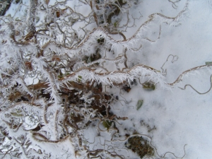 Contorted hazel covered in ice